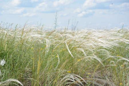 ajenjo: hierba stipa en estepa verano