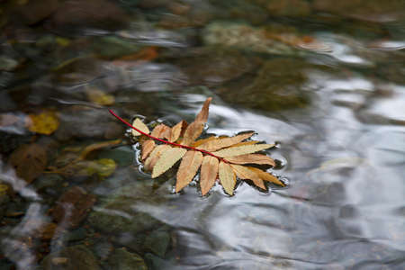 sprig: Sprig of autumn rowan leaves on clear water surface