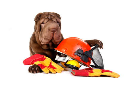 empleadas domesticas: Sharpei dog with hard hat and gloves on white background