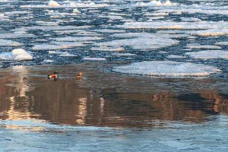 Couple of northern shovelers among floating ice in water with golden reflections, spring