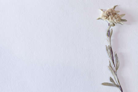 Textured paper background with dried edelweiss flower on the right, horizontal Stock Photo