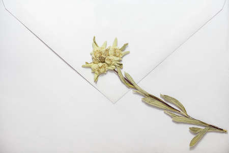 Dried edelweiss flower on white envelope, close-up Stock Photo