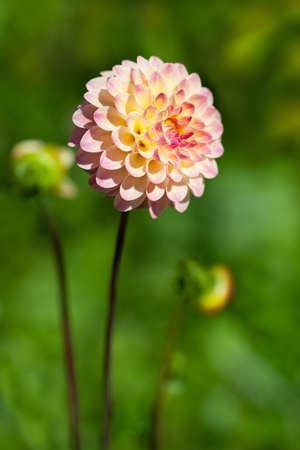 Beautiful pink flower of dahlia on blurred green background under soft sunlight in nature, macro, scenic vertical landscape Stok Fotoğraf
