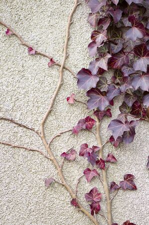 red ivy on the wall - background photo