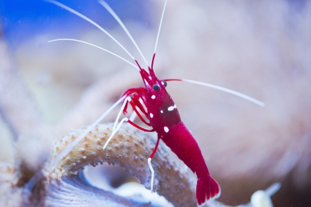 hermaphrodite: red marine shrimp Lysmata debelius Stock Photo