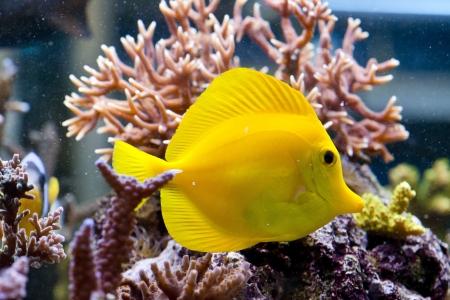 flavescens: Zebrasoma flavescens - colorful sea fish
