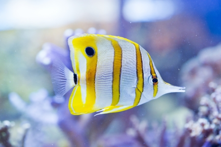 chelmon: Chelmon rostratus  Copperband Butterflyfish  - colorful sea fish