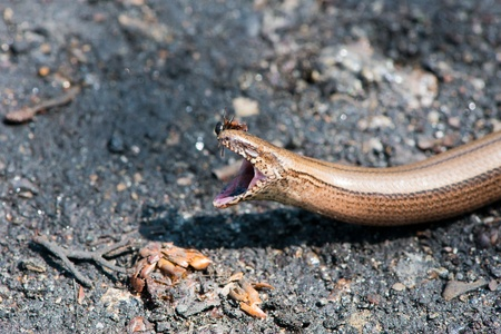 worm snake: ant attacking the head of the snake