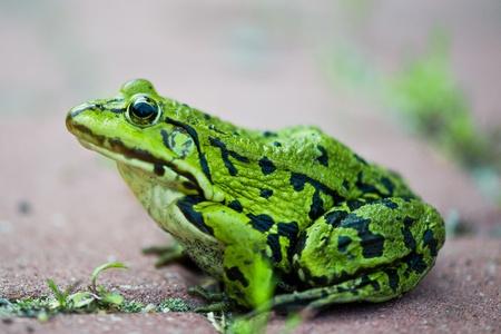 lessonae: close up to frog Pelophylax lessonae Stock Photo