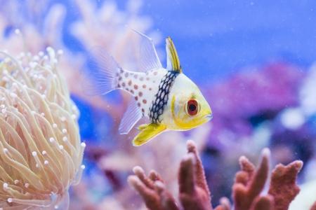 Sphaeramia nematoptera - colorful sea fish