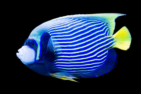 pomacanthus imperator: Pomacanthus imperator - emperor angelfish on black background Stock Photo