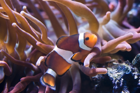 Amphiprion  Sp - Clownfish  snuggles into the host anemone Stock Photo - 22400146