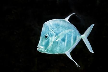 aquarist: fish on black background Silver Moonfish, Lookdowns-Selene vomer