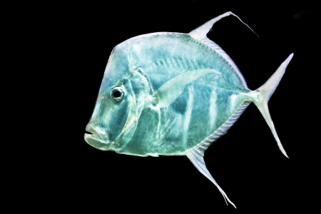 fish on black background Silver Moonfish, Lookdowns-Selene vomer photo