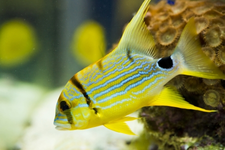 chelmon: symphorichthus spilurus - yellow, sea fish.   Stock Photo