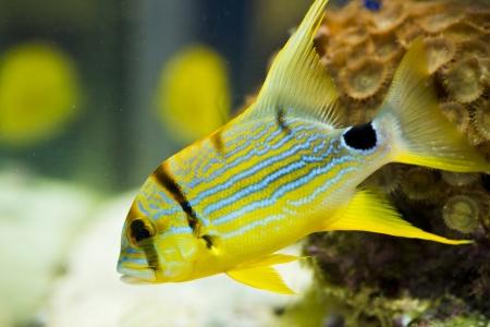 copperband butterflyfish: symphorichthus spilurus - yellow, sea fish.   Stock Photo