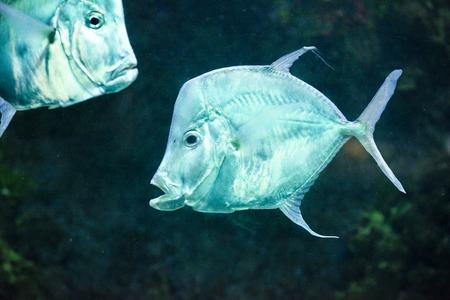aquarist: sea fish, Silver Moonfish, Lookdowns-Selene vomer