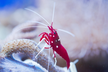 red marine shrimp Lysmata debelius Stock Photo - 24527718