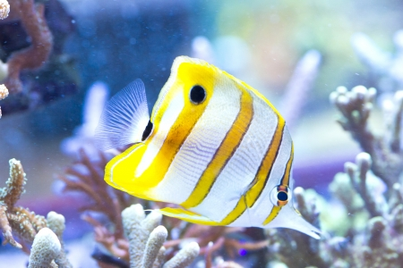 Chelmon rostratus (Copperband Butterflyfish) - colorful sea fish photo