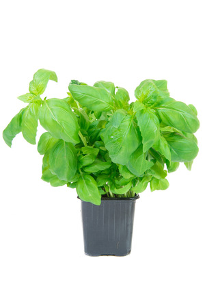 basil in a pot on white background Standard-Bild