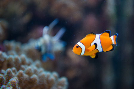 clown fish amphiprion: saltwater aquarium fish - Amphiprion ocellaris - clownfish - Nemo
