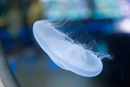 moon jellyfish - Aurelia aurita in the water photo