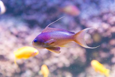anthias fish: saltwater fish - sea goldie - anthias squamipinnis - male