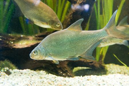 abramis: freshwater fish Breme - Abramis brama