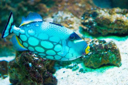 saltwater fish - Clown Triggerfish - Balistoides conspicillum