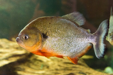 freshwater fish - Red Bellied Piranha - Pygocentrus nattereri photo