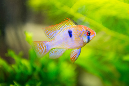 apistogramma: freshwater fish - Mikrogeophagus ramirezi,ram cichlid,male Stock Photo