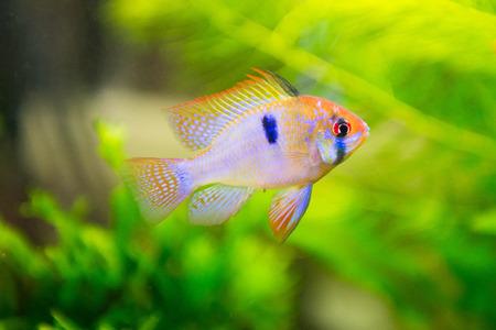 zoetwatervis - Mikrogeophagus ramirezi, ram cichlid, mannelijke