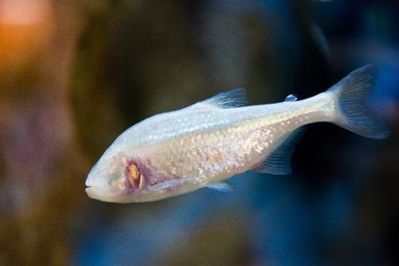 eyes cave: aquarium fish with no eyes - Astyanax fasciatus mexicanus - Blind Cave Fish