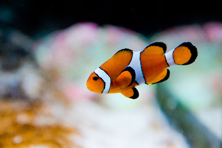 amphiprion ocellaris: saltwater aquarium fish - Amphiprion ocellaris - clownfish - Nemo