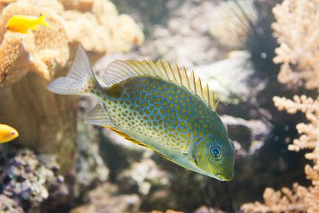 siganus: saltwater fish - Orange spotted spinefoot - Siganus guttatus