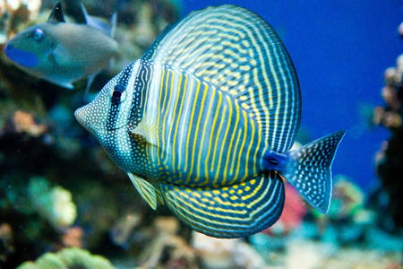 sailfin: saltwater aquarium fish - Zebrasoma desjardini Stock Photo