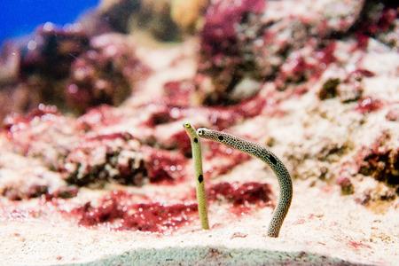saltwater fish Spotted Garden Eels - Heteroconger hassi Imagens