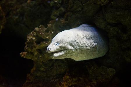 helena: saltwater fish Mediterranean moray - Muraena helena
