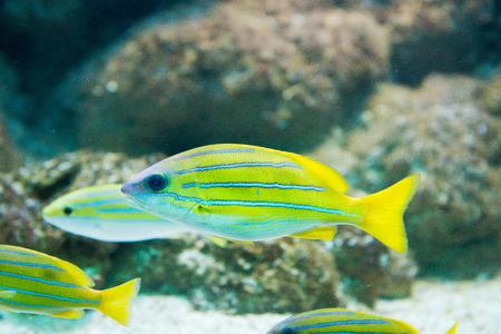 saltwater fish Lutjanus kasmira - Bluestripe snapper