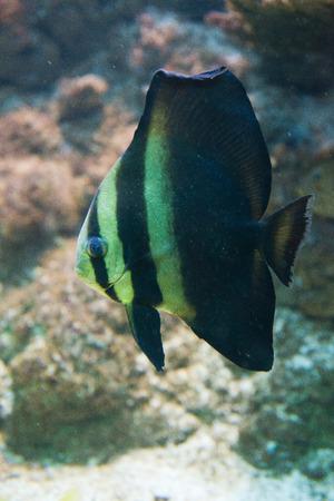 platax: aquarium fish Platax orbicularis - Orbicular Spadefish Stock Photo