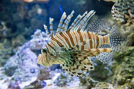 dragonfish: dangerous fish Red firefish - Pterois volitans