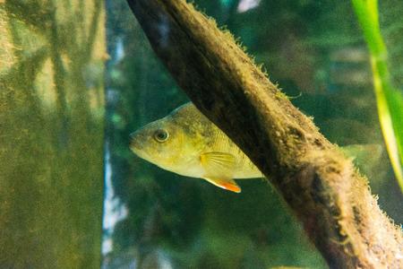 perca: fresh water fish - Perch - Perca fluviatilis