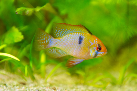 freshwater fish - Mikrogeophagus ramirezi,ram cichlid,male photo