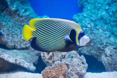 pomacanthus imperator: Pomacanthus imperator - Angelfish - pesci d'acqua salata Archivio Fotografico