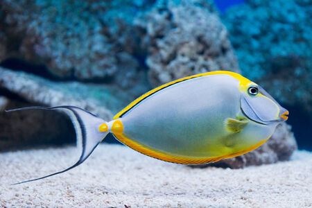 Naso lituratus - barcheek unicornfish - saltwater fish photo