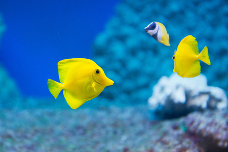 Zebrasoma flavescens - yellow tang - saltwater fish photo