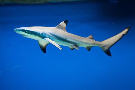 coral reef fish: Carcharhinus melanopterus -  blacktip reef shark - saltwater fish
