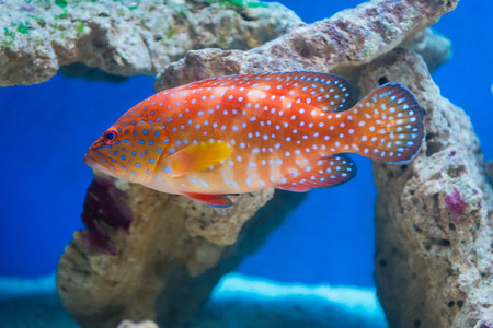 aquarist: Cephalopholis miniata - Coral hind - saltwater fish