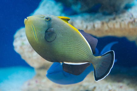 triggerfish: Melichthys indicus - Indian triggerfish - saltwater fish