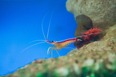 indo pacific: marine shrimp Lysmata amboinensis (Cleaner Shrimp)